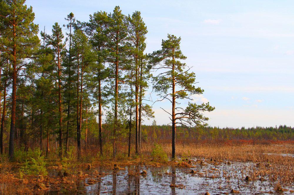 Картинки по запросу сосна на болоте